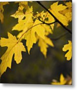 Maple Leafs Of Yellow Metal Print