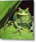 Marsupial Frog Gastrotheca Orophylax Metal Print