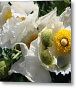 Matilija Poppies  Metal Print