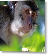 Mauritian Cynomolgus Macaques In The Wild Metal Print