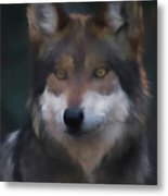 Mexican Grey Wolf Da Metal Print