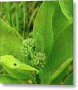 Milkweed Flower Buds  Metal Print