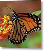 Monarch On Milkweed Metal Print