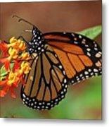 Monarch On Milkweed Metal Print