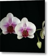 Moth Orchid 3 Metal Print