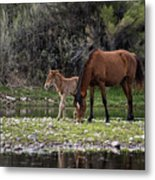 Mother And Foal Wild Salt River Horses Metal Print