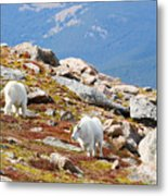 Mountain Goats On Mount Bierstadt In The Arapahoe National Forest Metal Print