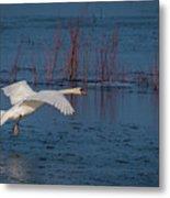 Mute Swan In Flight Metal Print