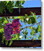 Napa Valley Inglenook Vineyard -2 Metal Print