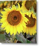 Nice Sunflowers Metal Print