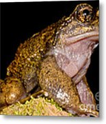Noras Spiny Chest Frog Metal Print