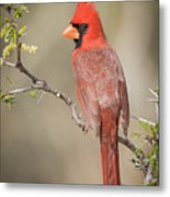 Northern Cardinal CFH17765 Metal Print