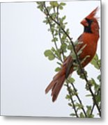 Northern Cardinal Portrait Metal Print