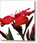Oleander Blood-red Velvet 3 Metal Print