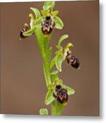 Ophrys Carmeli Metal Print