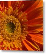Orange Gerbera Daisy Metal Print