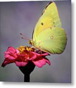 Orange Sulphur Butterfly Portrait Metal Print