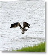 Osprey Fishing In The Afternoon Metal Print