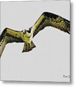 Osprey Looking For Lunch Metal Print