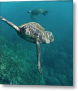 Pacific Green Sea Turtle Chelonia Mydas Metal Print
