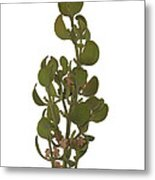 Pacific Mistletoe Metal Print