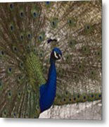 Peacock Close-up Metal Print