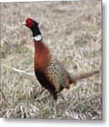 Pheasant Rooster Metal Print