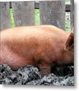 Pig Metal Print