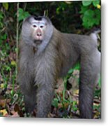 Pig-tailed Macaque Metal Print