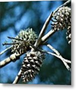 Pine Cones On Dry Branch Metal Print