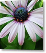 Pink African Daisy Metal Print