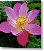 Pink Blooming Lotus Metal Print