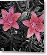 Pink Daylilies With Partially Desaturated Petals And Black And White Background Metal Print