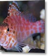 Pixy Hawkfish, Kimbe Bay, Papua New Metal Print