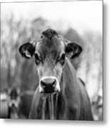 Portrait Of A Dairy Cow In The Rain Stowe Vermont Metal Print
