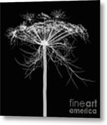 Queen Annes Lace, X-ray Metal Print