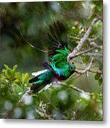 Quetzal In Costa Rica Metal Print