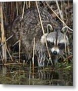 Raccoon Fishing Metal Print