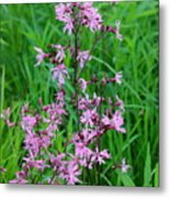 Ragged Robin Metal Print