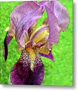 Raindrops On Purple And Yellow Iris Metal Print