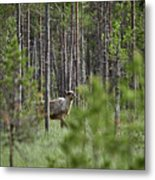 Rare And Wild. Finnish Forest Reindeer Metal Print
