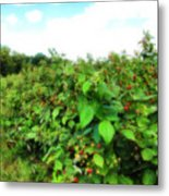Raspberry Fields 2  Metal Print