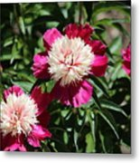 Red And Pink Peony Metal Print