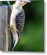 Red-bellied Woodpecker Metal Print