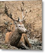 Red Deer Stag Cervus Elaphus Takes A Mudbath To Cool Down On Aut Metal Print