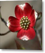 Red Dogwood Metal Print