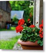 Red Garden Geranium Flowers In Pot , Close Up Shot / Geranium Fl Metal Print