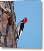 Red Headed Woodpecker Metal Print