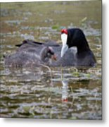 Red Knobbed Coot Metal Print