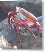 Red Rock Crab Metal Print